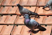 Male pigeon on the roof tiles — Stok fotoğraf