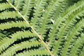 Green bracken textured foliage — Stock Photo