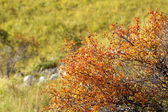 Faded hawthorn in autumn — Stock Photo