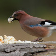 European jay attracted with bread — Stock Photo