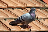 Male pigeon on roof tiles — Stock Photo