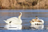 Mute swans family — Stock Photo