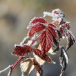 Raspberry leaves covered with rime — Stock Photo