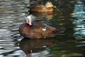 Feral muscovy duck — Stock Photo