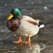 Male mallard duck standing on ice — Stock Photo