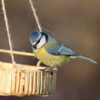 Stock Photo: Blue tit at seed feeder
