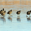 Coots walking with care on frozen surface — Stock Photo