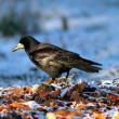Stockfoto: Corvus frugilegus foraging on ground