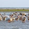 Stockfoto: Flock of pelicans standing in water