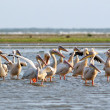 ストック写真: Flock of pelicans standing in water