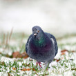 Pigeon walking towards camera — Stock Photo #37748267