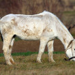 Stockfoto: White horse grazing on meadow