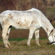 Стоковое фото: White horse grazing on meadow