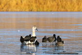 Coots and swan standing together — Stock Photo