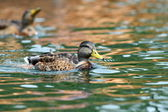 Mallard duck swimming on water surface — Stock Photo