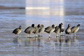 Group of coots in winter — Stock Photo