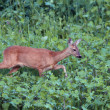 Roe deer doe walking tranquil — Stock Photo #39227823