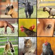 Collage made with farm animals images — Stock Photo