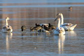 Coots and swans flock standing on ice — Stock Photo