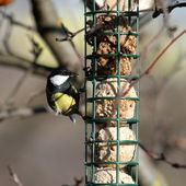 Great tit foraging on fat feeder — Stock Photo