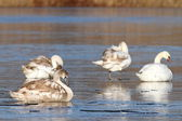 Family of mute swans on ice — Stock Photo