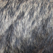 European wild boar fur — Stock Photo