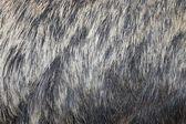 European wild boar fur — Stock Photo