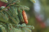 Spruce cone up in the tree — Stock Photo