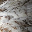 Stock Photo: Buteo plumage