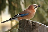 Eurasian jay profile in the forest — Stock Photo