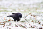 Black crow foraging in a winter day — Stock Photo