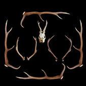 Deer hunting trophies on dark background — Stock Photo