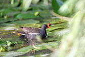 Female common moorhen — Stock Photo
