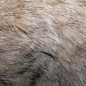 настоящий дикий кот мех — Стоковое фото
