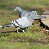 Pigeon on lawn in the park — Stock Photo