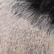 Domestic pig fur — Stock Photo