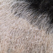 Domestic pig fur — Stock Photo #43279685