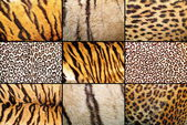 Tiger and leopard different real patterns — Stock Photo