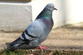 Male feral  pigeon — Stock Photo