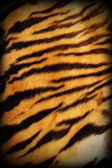 Real tiger textured pelt — Stock Photo