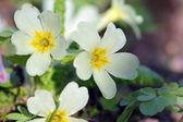 Primula yellow flower — Stock Photo