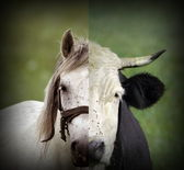 Abstract montage of cow and horse heads — Stock Photo