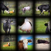 Cows images in one collage — Stock Photo