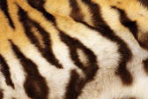 Detail on tiger real black stripes — Stock Photo