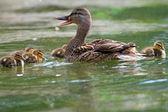 Female mallard with ducklings — Stock Photo