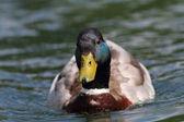 Canard nageant vers la caméra — Photo