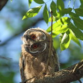 Asio otus juvenile in tree — Stock Photo