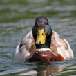 Mallard drake swimming on water — Stock Photo #48362097