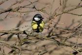 Great tit hiding amongst the twigs — Foto Stock