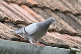 Purebreed pigeon on roof — Stock Photo